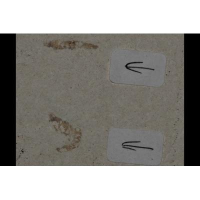 0015 Fossiele garnaal dubbel