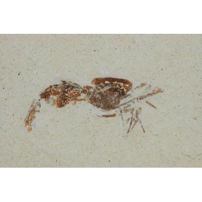 0052 Fossiele Garnaal