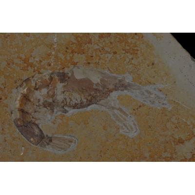0066 Fossiele garnaal