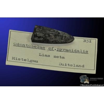 Odontobelus cf. pyramidalis