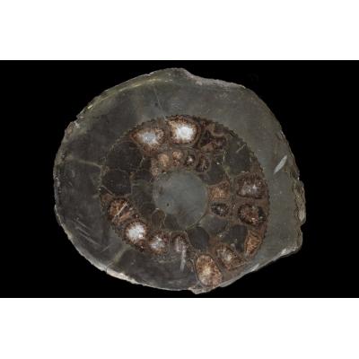 Dactylioceras