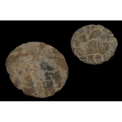 Echinocorys (3)