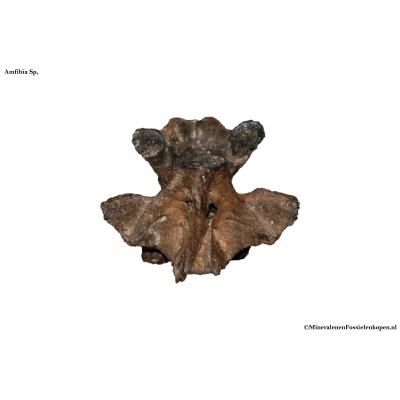 fossiele amfibieënwervel