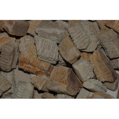 Fossiele Roggentanden